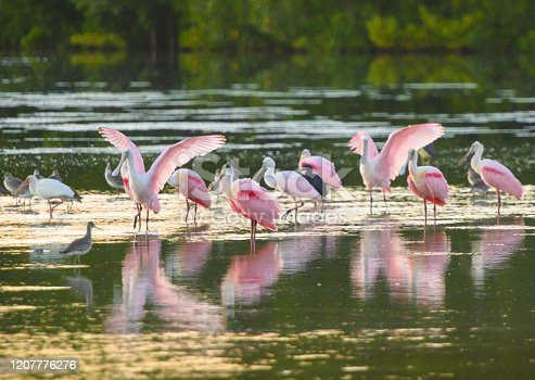 This is a photograph of a flock of Roseate Spoonbill wading birds in the water at Ding Darling National Wildlife Refuge in Sanibel Island, Florida, USA.