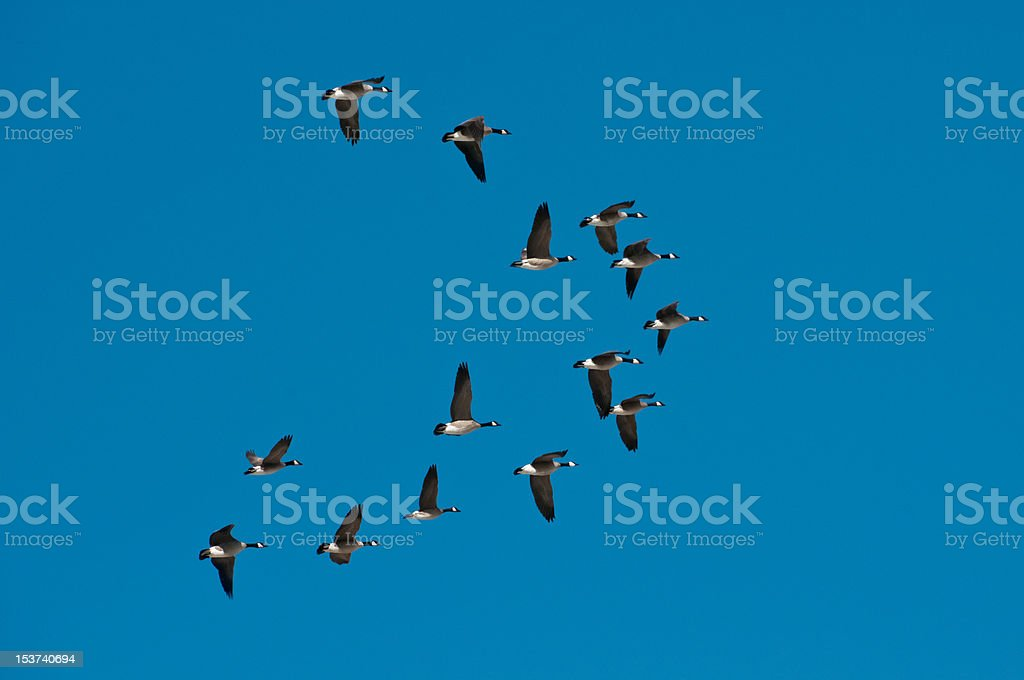 Flock of wild snow geese flying in formation stock photo
