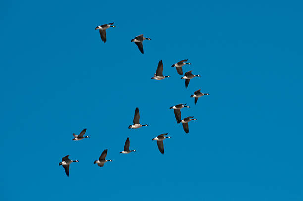 Flock of wild snow geese flying in formation