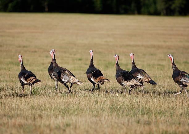 Flock of Wild Turkey stock photo
