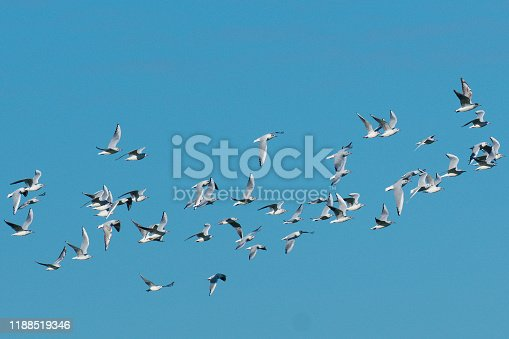 A flock of wintering Black-headed Gulls (Larus ridibundus), fly against a bright blue winter sky in southern England