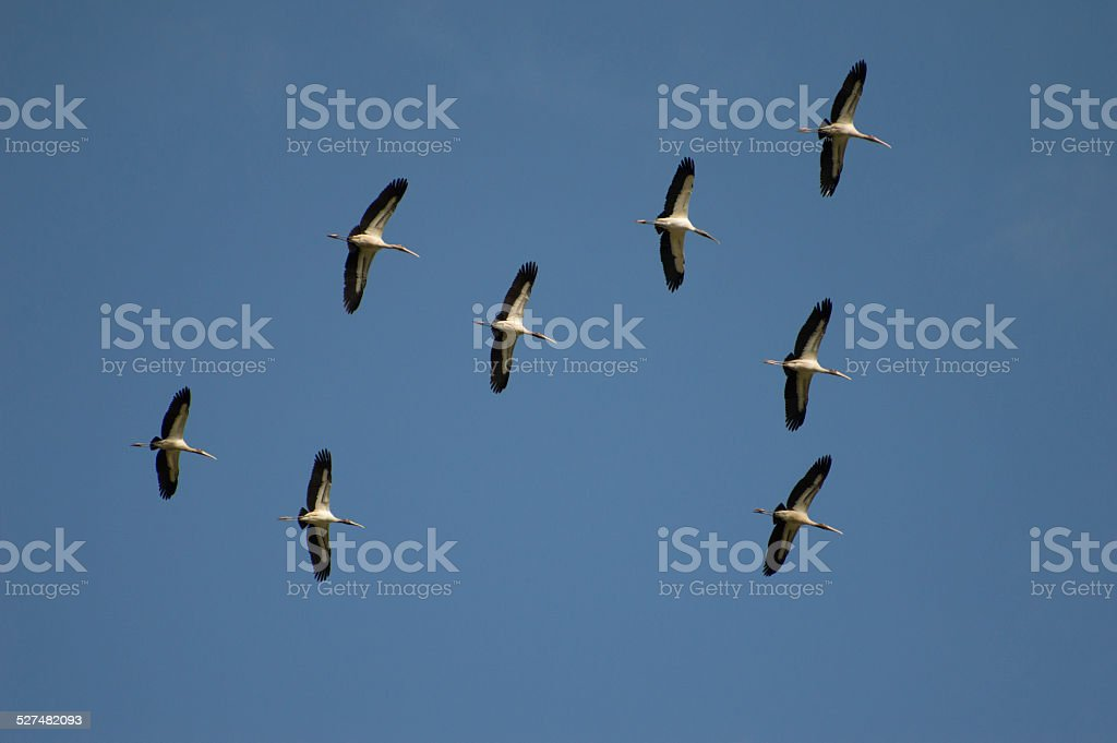 Flock of Woodstorks in Flight stock photo