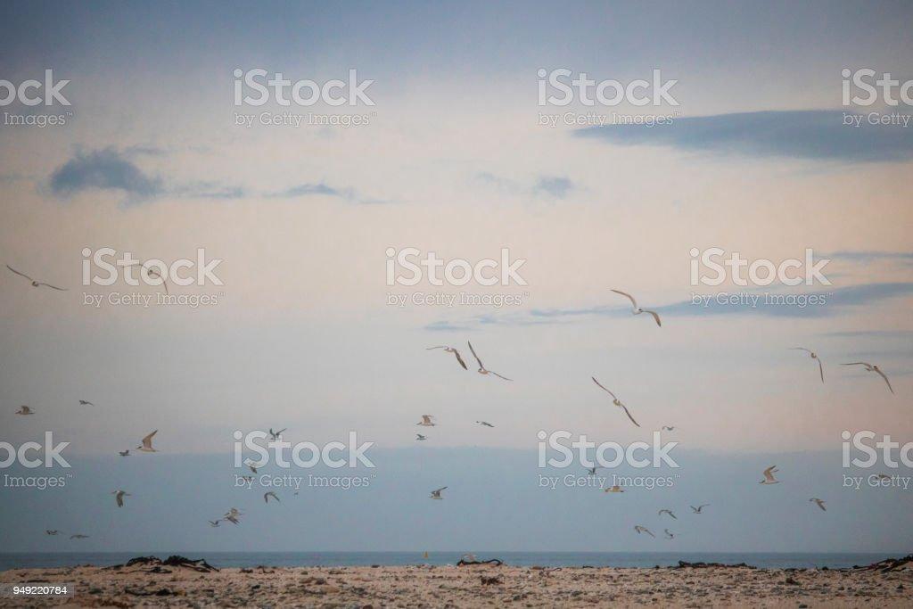 Flock on birds in mid flight on Paarden Eiland Beach at sunrise. stock photo