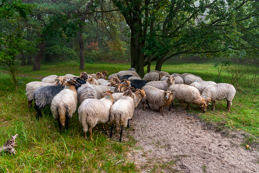 Flock with many sheep in Holland, one early foggy day