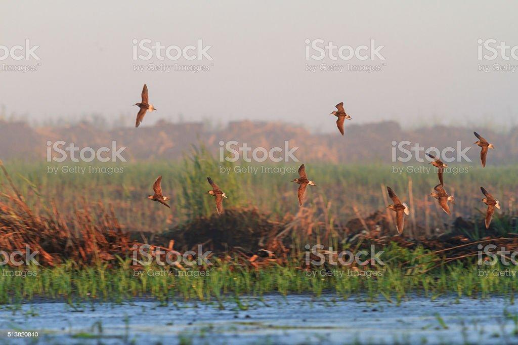 flock Wood sandpiper of migrating stock photo