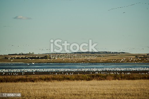 Shot of a flock of snow geese flocking around a lake outdoors in the countryside