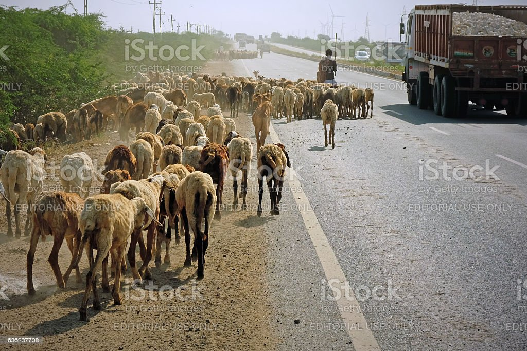 Flocks moving along an Indian highway stock photo