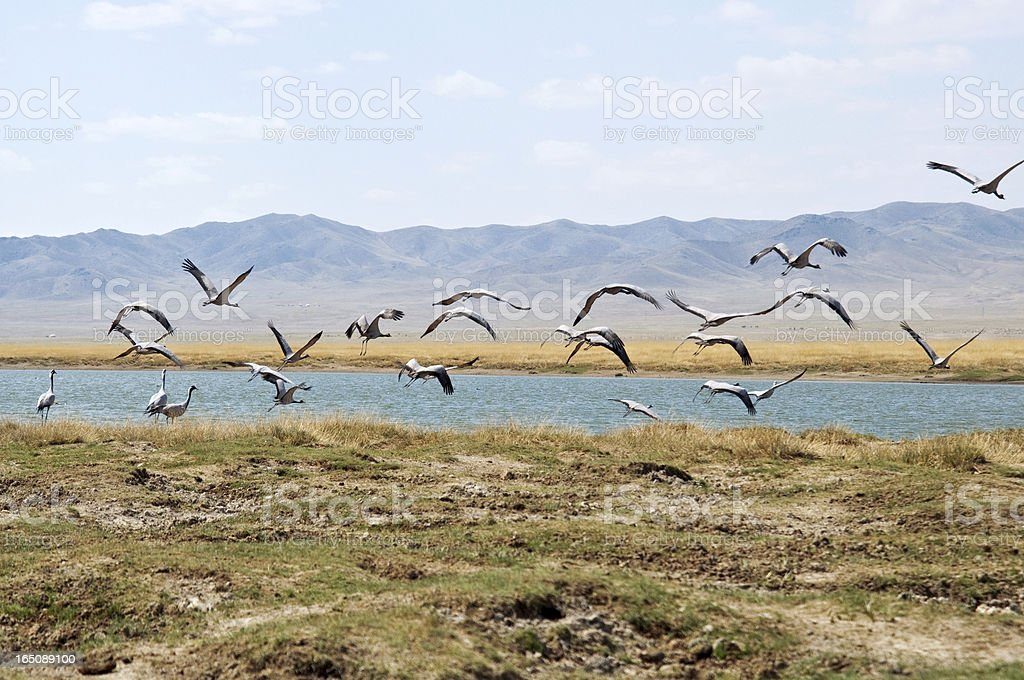 flocks of cranes flying above a lake in the Mongolia royalty-free stock photo