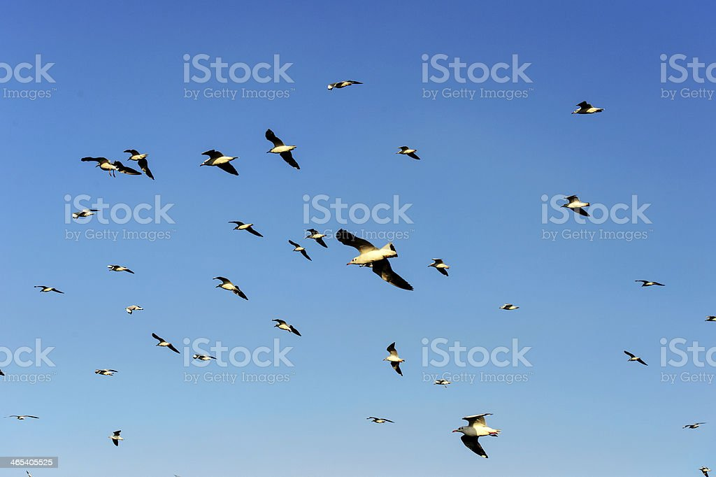 Flocks of Seagull under blue sky stock photo