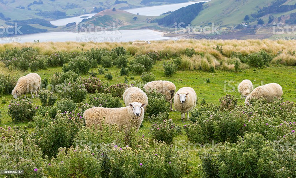 """Image result for sheep grazing in the fields"""""""