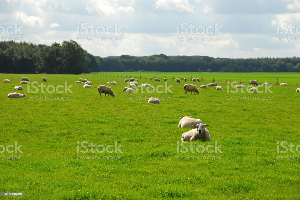 Flok of Texel sheep staying in a pasture. stock photo