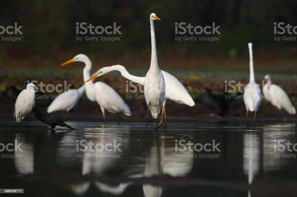 Floock of great egrets photo libre de droits