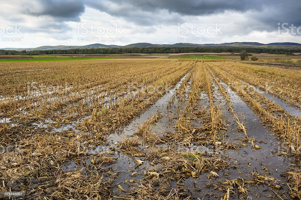 Flood in the cornfield after harvesting stock photo