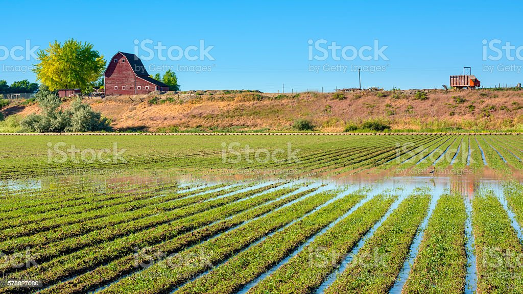 Flood irrigated crops and red barn stock photo