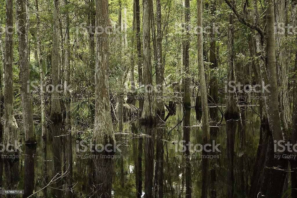 Flooded Cypress Forest stock photo