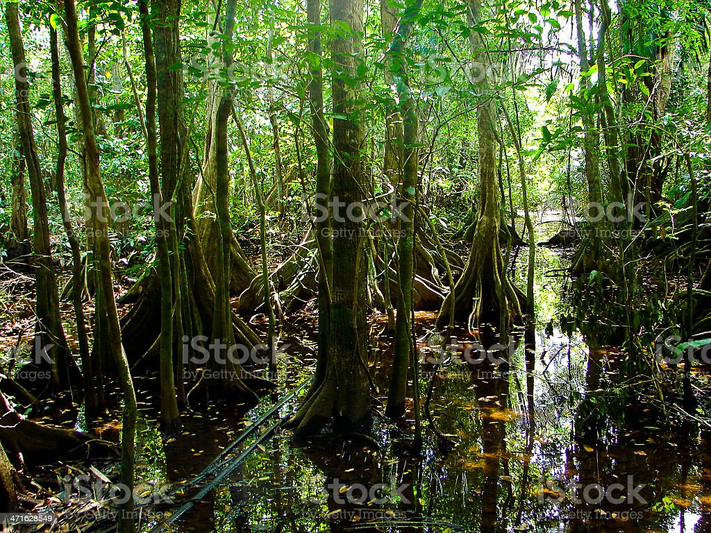 Flooded Forest And Buttress Tree Roots Atlantida Honduras stock photo