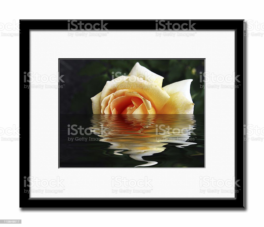 Flooded Rose. stock photo