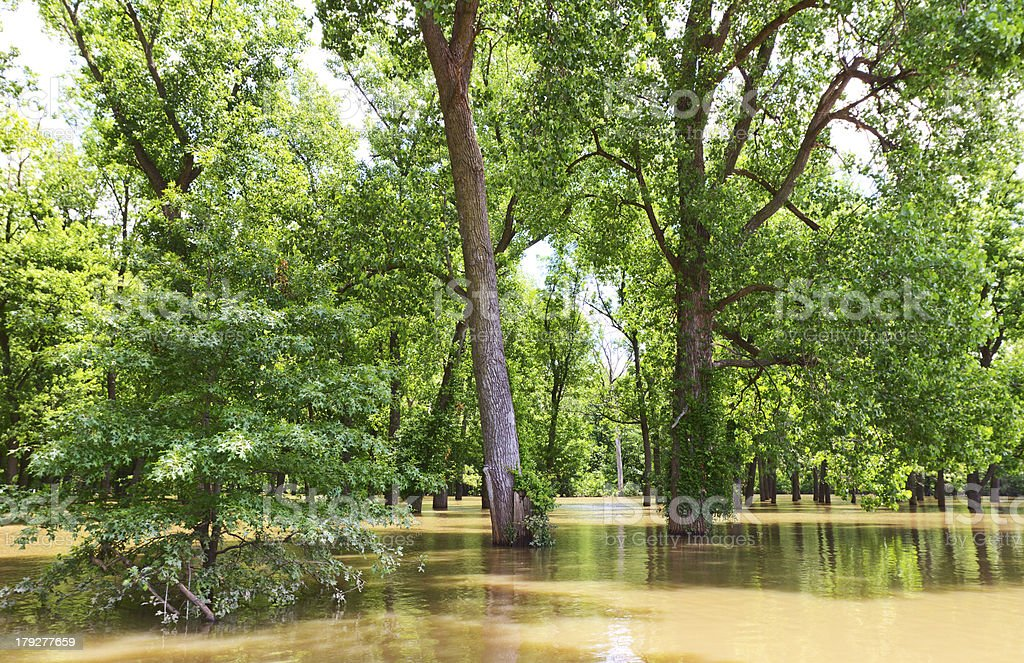 Flooded Trees by the Mississippi River stock photo