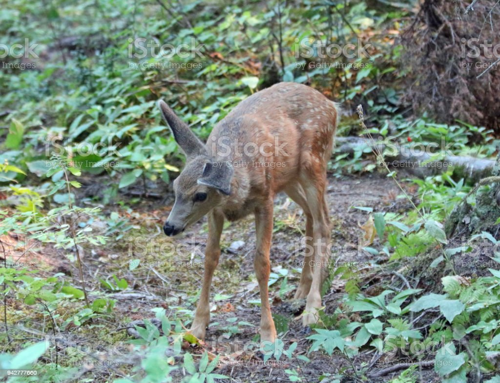 Floppy eared baby fawn mule deer in the Rocky Mountains in the...