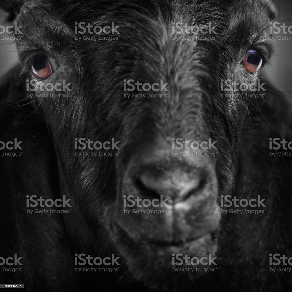 Close-up images of black goat portrait and White goat floppy ears.