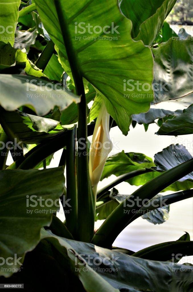 A flor da Typhonodorum lindleyanum entre a folhagem stock photo