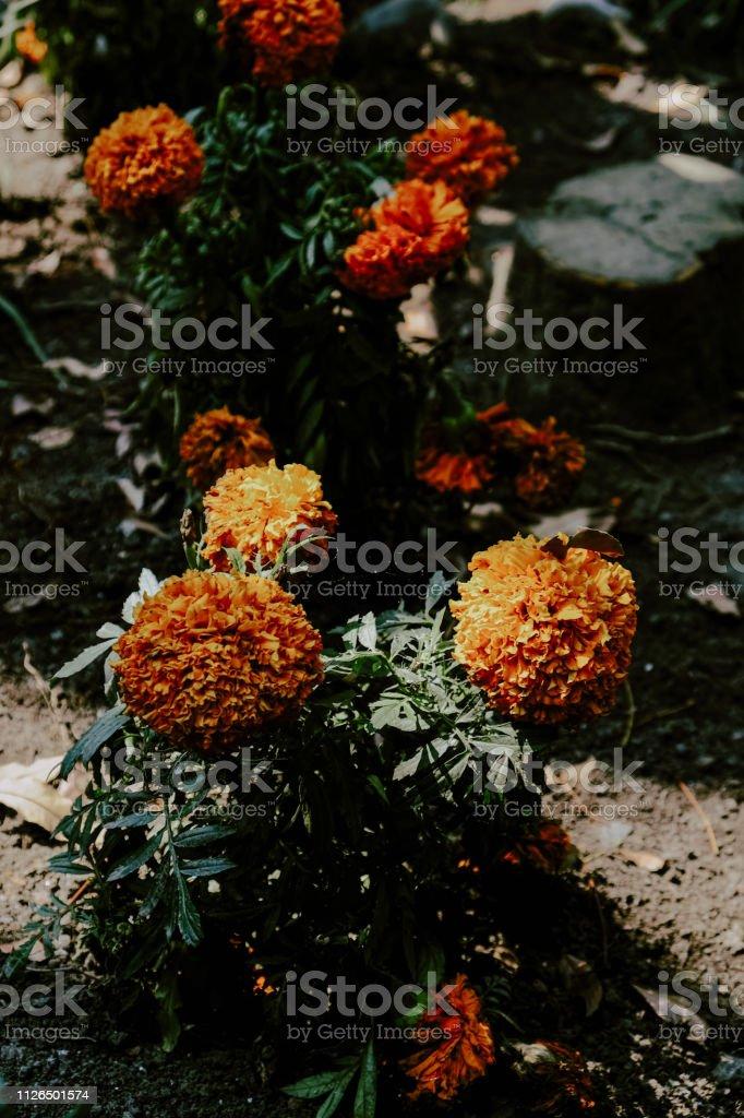 Flor de Cempasúchil - foto de stock