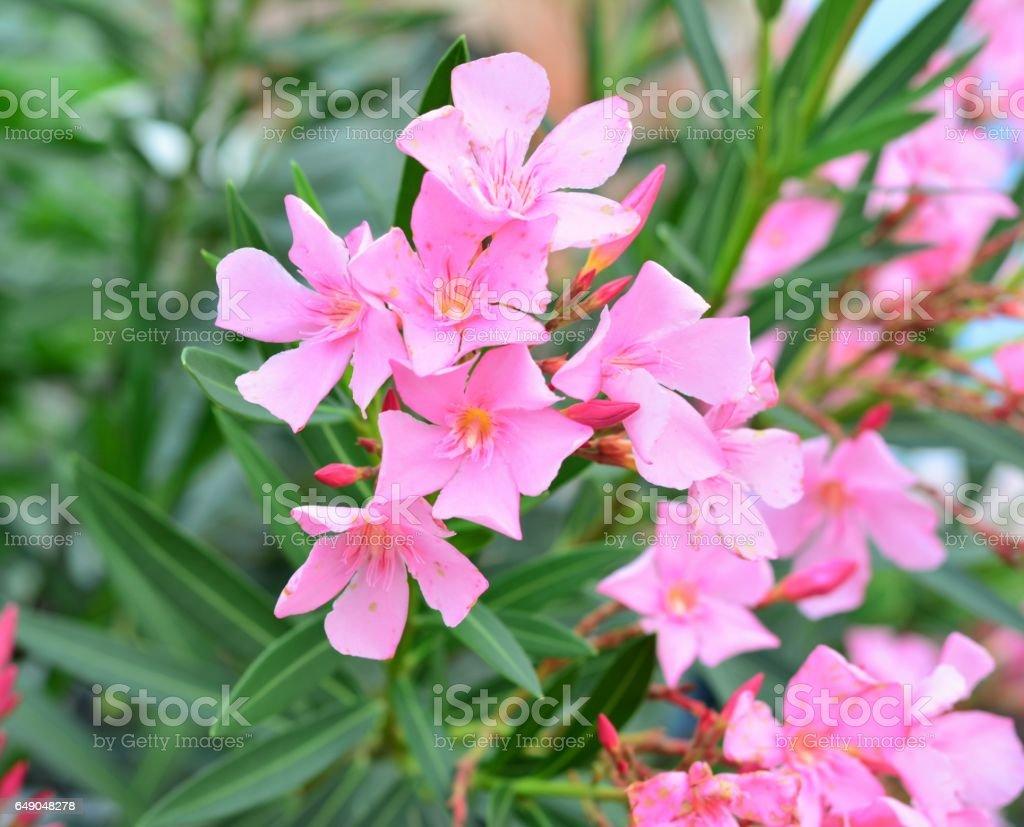 flor de nerium oleander no verão stock photo more pictures of