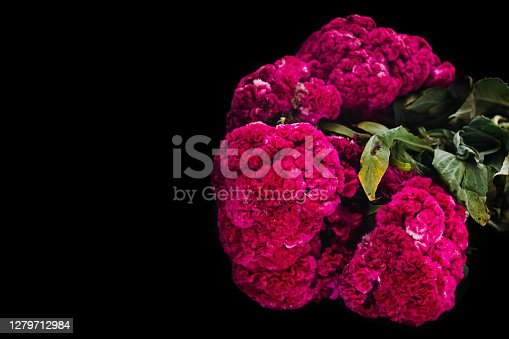 Flor de Terciopelo o Celosia, Mexican Flowers for offerings ofrendas in di­a de muertos Day of the Dead Mexican tradition