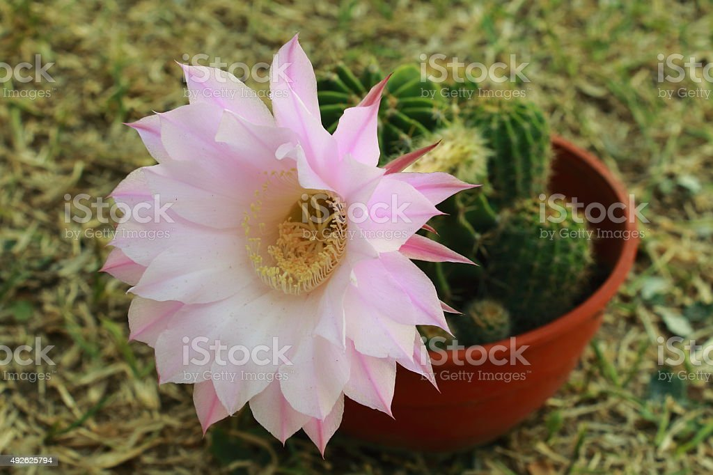 flor rosada stock photo