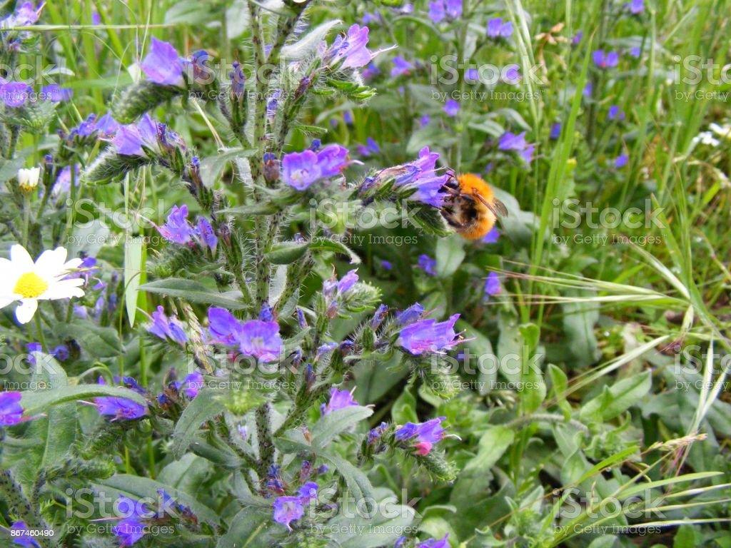 Flor silvestre con abejorro stock photo
