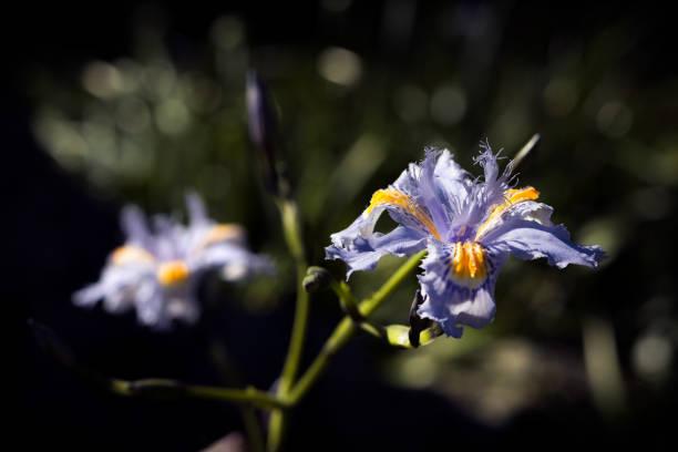 Flor Violeta - Iris japonica o Lirio de Japón (Fringed Iris). stock photo