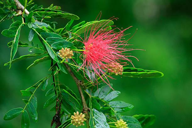 Flora: calliandra surinamensis, Dacca Gabriel's Cove, Roura, Französisch-Guayana – Foto
