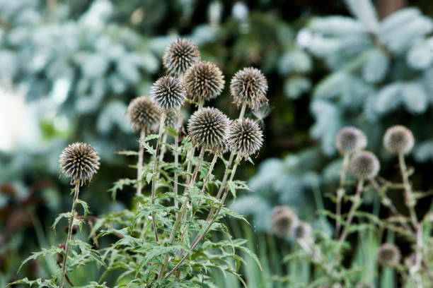 Flora Flowers Backyard Globe Thistle Balls Round Seed Head stock photo