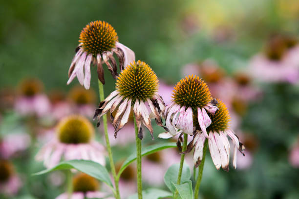 Flora Flowers Colourful Solitary Purple Orange Coneflower in a Green Garden stock photo