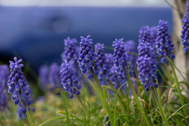 Flora Flowers Purple Grape Hyacinth Yard Front Back Garden stock photo
