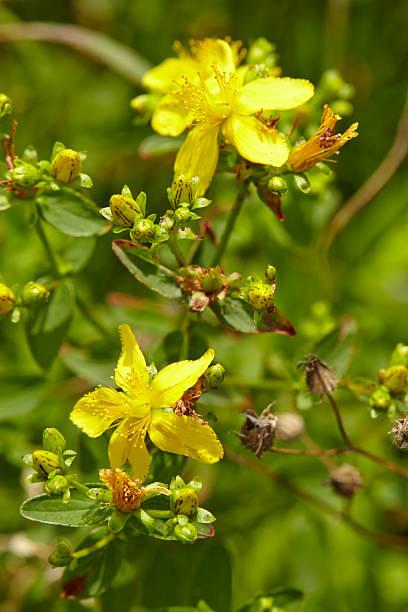 Flora-Klamath weed (Hypericum perforatum) – Foto