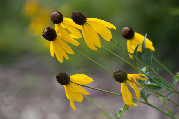 Flora Leaning Drooping Black Eyed Susan Group Bunch Afternoon stock photo