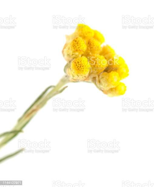 Photo of Flora of Cantabria - Helichrysum stoechas