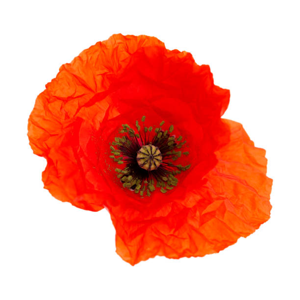 Flora of gran canaria field poppy picture id1189929352?b=1&k=6&m=1189929352&s=612x612&w=0&h= t07egfu4ewt8w7wnmuvqgjj39gsosj gnbzgvt6rbc=