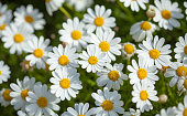 flora of Gran Canaria -  flowering marguerite daisy background