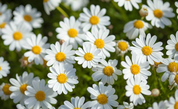 flora de gran canaria - margarita de flores margarita - margarita fotografías e imágenes de stock