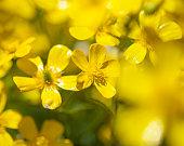 Flora of Gran Canaria - Ranunculus cortusifolius, Canary buttercup