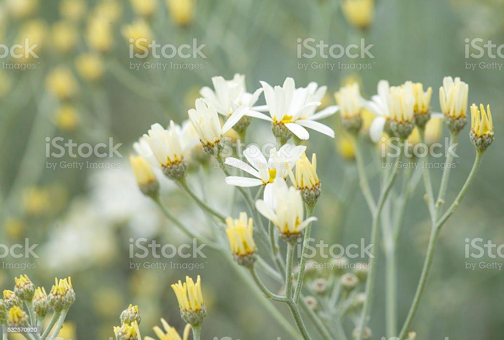 Flora of Gran Canaria - Tanacetum ptarmiciflorum stock photo