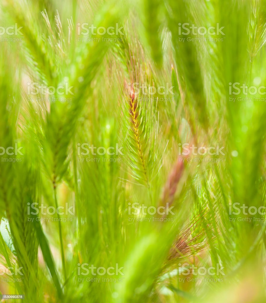 Flora of Gran Canaria - young plants of Hordeum, barley stock photo