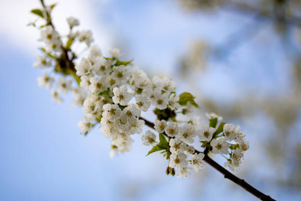Flora Spring Season Black Cherry Blossoms Branch Twig stock photo