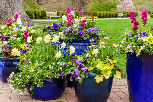Large blue ceramic pots with a variety of colorful flowers by lawn in public garden, May in northern Illinois, USA