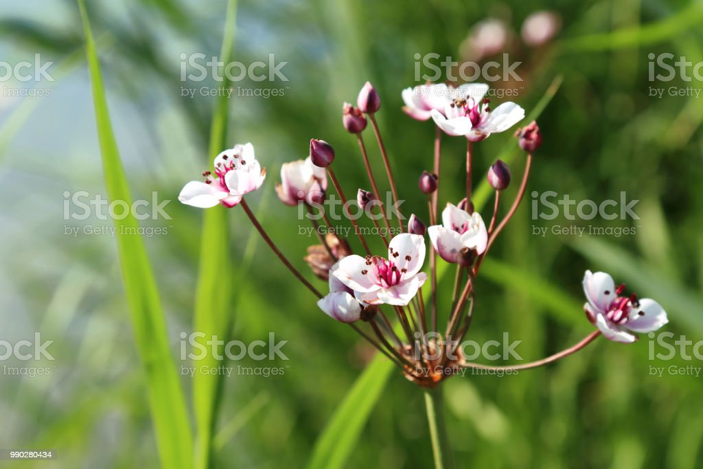 Fleurs roseaux blanche-Butomus umbellatus
