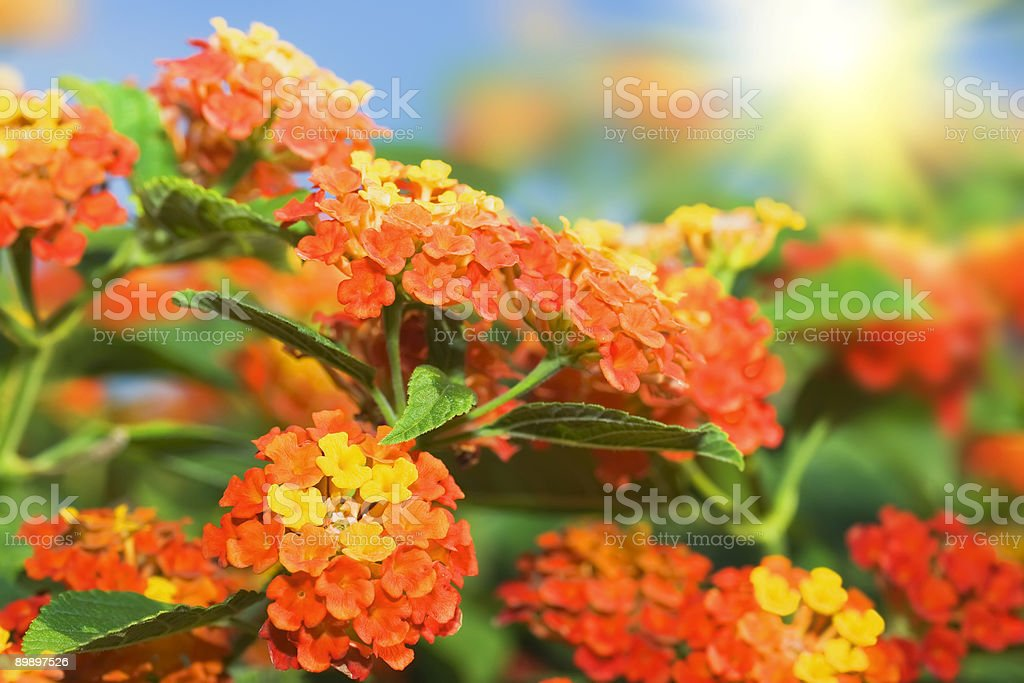 Floral background. Lantana flowers stock photo