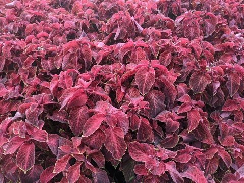 floral background of decorative deciduous plants in shades of burgundy color with a green leaf edge