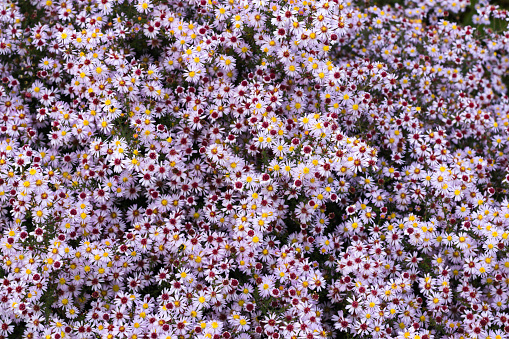 Floral background of flowers Aster, many blossoms of tiny small bright flowers outdoors close up